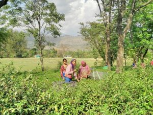 tea gardens in Palampur